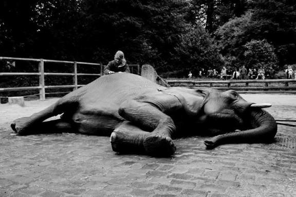 Frederike pesemässä Svenietä Saksalaisessa eläintarhassa.